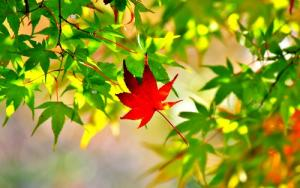 Hạnh phúc với hình ảnh cây phong trong giấc mơ