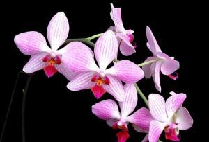 Hoa Lan phong thủy: Loài hoa vương giả mang may mắn đến cho mọi nhà