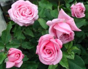 Mơ thấy hoa hồng, cẩn thận có tình địch