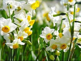 Biết vị trí bày hoa thủy tiên chuẩn phong thủy rước may mắn vào nhà