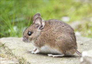 Mơ thấy chuột là điềm báo gì, có đáng lo không?