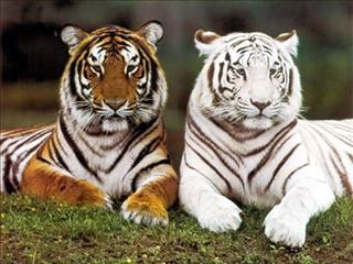 Mơ thấy hổ là điềm báo gì, phải chăng nguy hiểm đang rình rập?