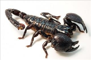 Mơ thấy bọ cạp có độc không?