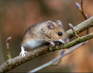 Mơ thấy chuột, nên mừng hay nên lo?