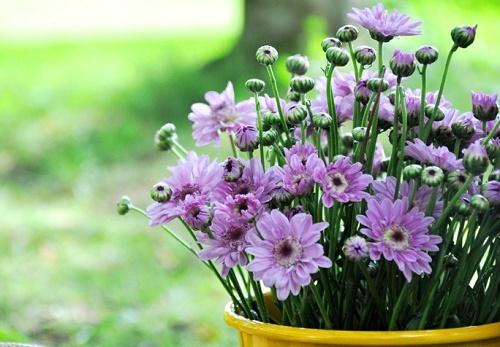 Ý nghĩa phong thủy của hoa cúc: gia tăng phúc khí, cuộc sống như ý