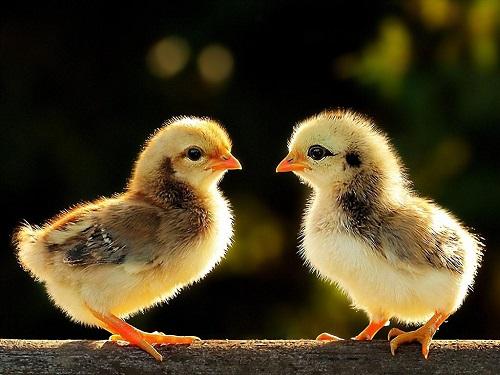 Vui vẻ vì mơ thấy gà