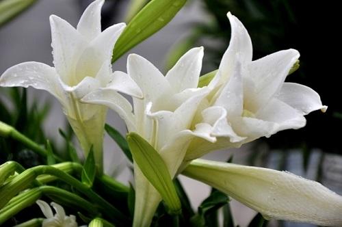 Truyen thuyet ve hoa loa ken trang vao thang 4 hinh anh