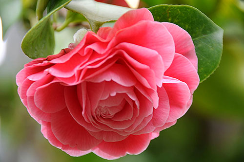 Hoa tra - loai hoa phong thuy xinh dep, vuong tai hinh anh