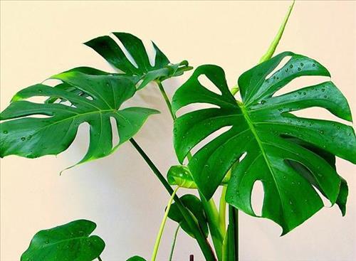 Trúc lưng rùa phong thủy - loài cây tăng tài tiến phúc, hạnh phúc toàn gia