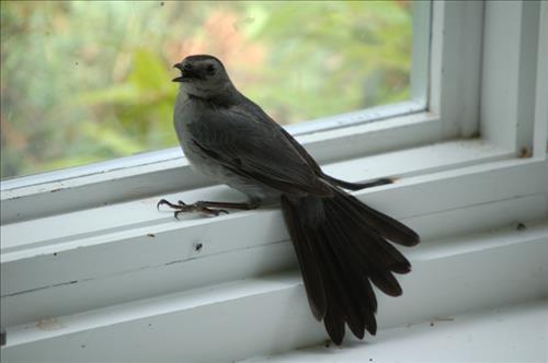 Đừng bỏ qua những điềm báo này khi chim bay vào nhà