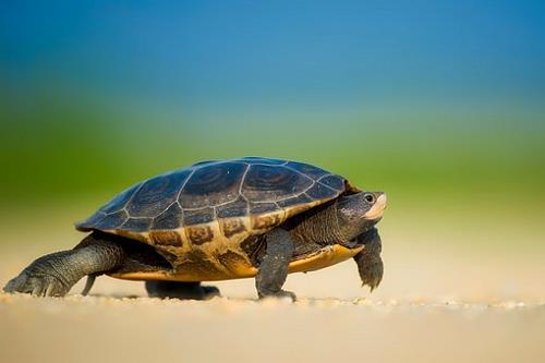 Mơ thấy rùa là điềm báo gì? Mơ thấy rùa chọn số mấy?