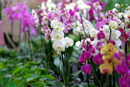hoa lan phong thuy 4