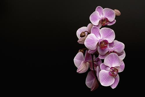 hoa lan phong thuy