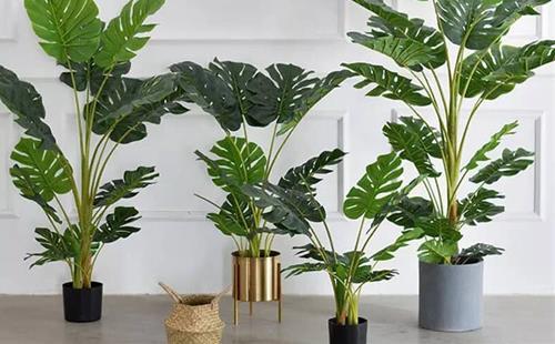Trồng 5 loại cây này trong nhà gia chủ khỏe mạnh vượt qua mọi dịch bệnh