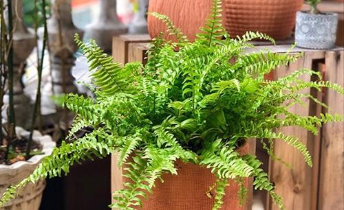 cách làm mát nhà bằng cây cảnh - cây dương xỉ