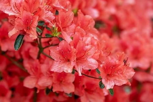 hoa do quyen nen trong o ban cong