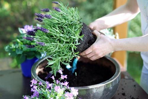 y nghia hoa lavender trong phong thuy