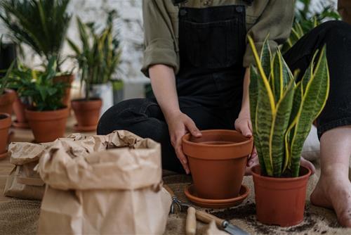 cây lưỡi hổ trồng ở bếp cũng phù hợp