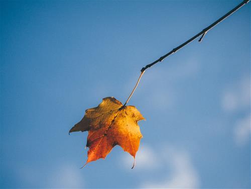 Ngắm lá phong trong tiết Hàn Lộ