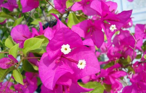 hoa giay mau hong hop menh hoa