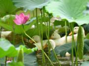 Vịt bơi dưới tán lá sen đỗ đạt thành tài