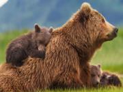 Mơ thấy gấu sẽ gặp may mắn
