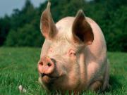 Mơ thấy lợn béo thì hưng thịnh, mơ thấy lợn gầy thì đại bại công danh