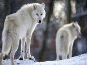 Mơ thấy sói thì xui, mơ thấy cừu thì sướng