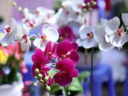 Chơi hoa Tết hợp phong thủy cho tài lộc 12 con giáp